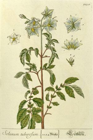 Fleur de pomme de terre (Elisabeth Blackwell. Herbarium Blackwellianum emendatum et auctum, idest, Collectio stirpium. Nuremberg, 1760)