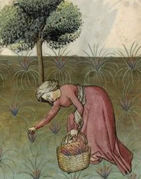 Récolte du safran, Tacuinum sanitatis, vers 1445-1451, Paris, musée du Louvre