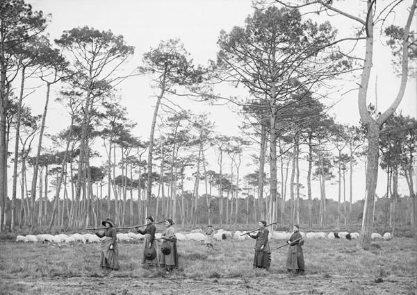 Lüe, pins Lilère, 21 janvier 1892, Félix Arnaudin, ©mairie de Bordeaux. L'agrandissement est la forêt de pins maritimes des Landes de Gascogne, © Inra, Frédéric Labbé, 2016.