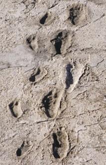 Traces de pas dans la boue, 3,5 millions d'années, Laetoli, Tanzanie.