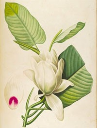 Pierre-Joseph Redouté, Magnolia macrophylla, 1811, The Fitzwilliam Museum, Cambridge.