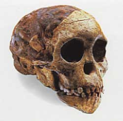 Crâne de l'enfant de Taung, spécimen d'Australopithecus africanus de 2,1 mllions d'année découvert en Afrique du sud, collection de l'Université du Witwatersrand, Johannesburg, Didier Descouens.