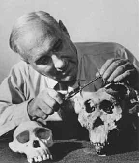 Louis Leakey (7 août 1903 – 1 octobre 1972), archéologue et paléoanthropologue, examine des crânes des gorges d'Olduvai, Afrique.